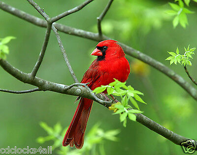 Red Cardinal / BIRD 11 x 14 / 11x14 GLOSSY Photo Picture IMAGE #2