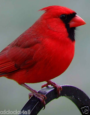 Red Cardinal / BIRD 11 x 14 / 11x14 GLOSSY Photo Picture IMAGE #4