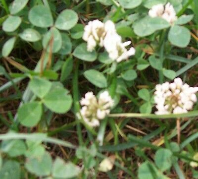 WHITE DUTCH CLOVER 1 lb Seed Lawn Groundcover Seeds Low Growing Spreading Bee