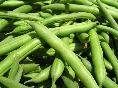 BUSH BEAN 'Provider' 25 seeds dwarf vegetable garden HEIRLOOM stringless Boondie