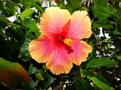 Hibiscus Sunset Rosa-Senisis RARE Blooms 5+ CUTTINGS for rooting.