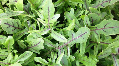 WILD ROCKET 'Dragons Tongue' 150 seeds RED VEIN salad vegetable garden PERENNIAL