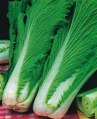 Vegetable Chinese Cabbage Wong Bok 800 seeds Oriental