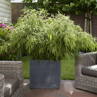 Pair of Fargesia 'Fountain' Bamboo plants in 2L pots 60cm tall