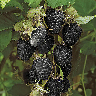Black Raspberry 'Black Jewel' Plant in a 2L Pot Grow Your Own Fruit