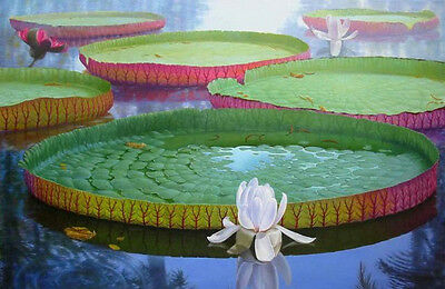 5 Seeds Victoria water lily,Victoria Amazonica ,Giant Water Lily,Free shipping