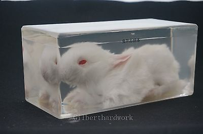 Real Rabbit Specimens In Clear Lucite Block Educational Instrument