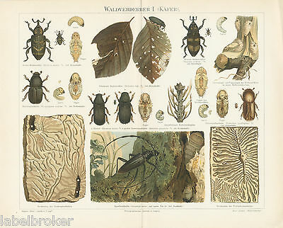 Antique Print Vintage 1800S Chromolithograph Original Insects Beetles