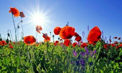 POPPY 'Flanders Red Remembrance' 1000+ seeds flower garden cool climates cottage