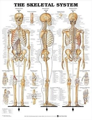 (LAMINATED) SKELETAL SYSTEM POSTER (66x51cm) ANATOMICAL CHART SKELETON MEDICAL