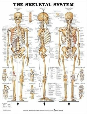 SKELETAL SYSTEM (LAMINATED) POSTER (66x51cm) ANATOMICAL CHART SKELETON MEDICAL