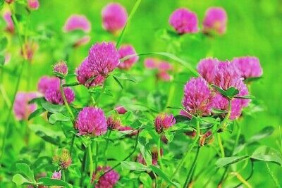 RED CLOVER 10,000 seeds BEE + BENEFICIAL BUG ATTRACTING lawn grass GREEN MANURE