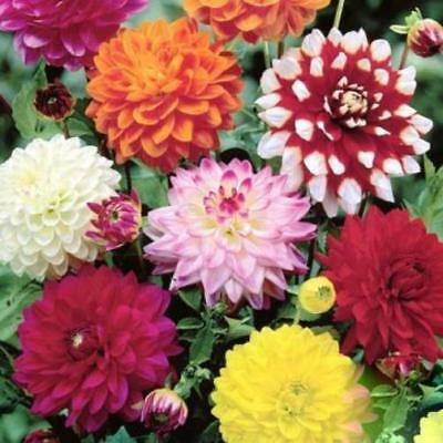 DAHLIA 'Decorative Giants' 20+ seeds CUT FLOWER garden flower arranging annual