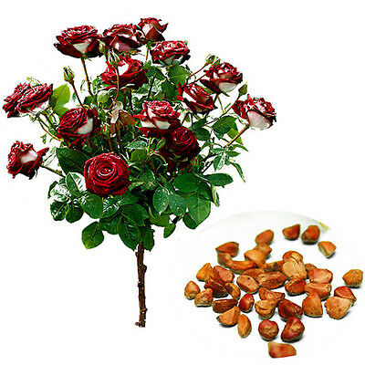 20Pcs Rare Seed Osiria Rose Ruby Rose Flower Seeds Home Garden Plant Seeds