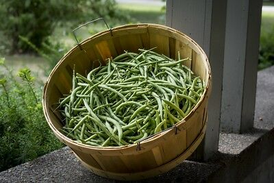 BUSH BEAN 'Strike' 25 seeds dwarf vegetable garden HEIRLOOM stringless Boondie