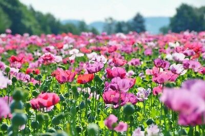 MIXED POPPY 2500+ seeds FLOWER GARDEN cool climates easy to grow annual colour