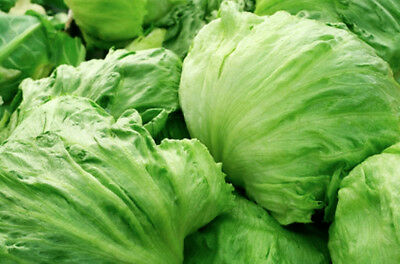 LETTUCE 200+ seeds 'Iceberg' vegetable seeds garden EASY TO GROW beginners