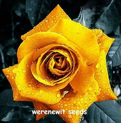 20 X Golden Yellow Rose Seeds,fresh Stock,aussie Seller+ Free Gift