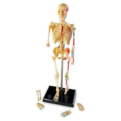 3D Human Skeleton Anatomy Science Model