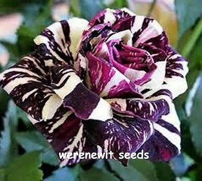 20X Purple Dragon Rose Seeds(German)Heirloom Rare+Free Post,aussie Seller