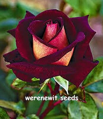 20 X Rare Dark Red/red Osiria Rose Seeds,fresh Stock+Aussie Seller