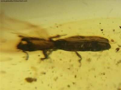 YL0051 Unknown Beetle in Fossil Burmite Amber