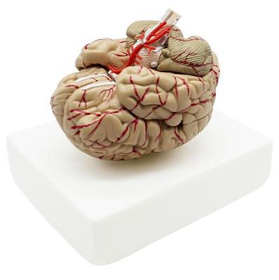 8-Part Human Brain With Arteries Anatomical Anatomy Model W