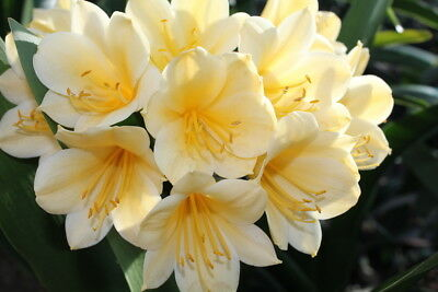 Yellow clivia - large, flowering size  Pick up preferred.
