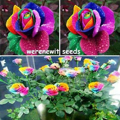 20 X Rainbow Rose Seeds.aussie Seller.free Post
