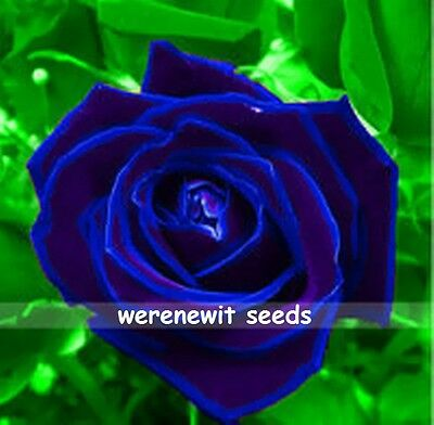20 X Rare Violet Blue Rose Seeds,free Post,free Gift,fresh Stock,aussie Seller