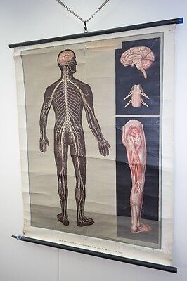Antique Anatomy Wall chart Nervous system Vintage DECOR Wall Chart Roll Chart