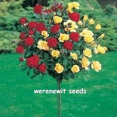 20x WOW RED/YELLOW POLYANTHA(STANDARD)ROSE TREE SEEDS AUST SELLER FREE POST