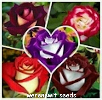 25 xRARE 5 KINDS MIXED OSIRIA ROSE SEEDS GREAT COLLECTION aussie seller