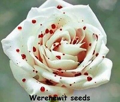 20 x RARE TRUE RED SPOT WHITE Rose SeedsAUSSIE SELLER LIMITED STOCK FREE POST