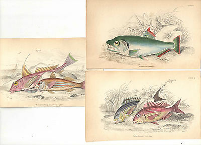 The Naturalist´s Library - 5 kolor. Stahlstiche – Fische – um 1840