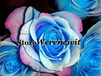 15 X Stunning Rare Blue,pink,white,rainbow Rose Seeds Free Post Aussie Seller