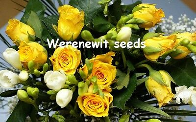 Super Bright Yellow Rose Seeds X 20 + Plus Free Gift Aussie Seller