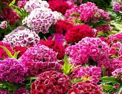 Dianthus Barbatus - Sweet William - Tall Double mix  Appx 300 seeds - Annuals