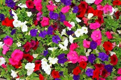 PETUNIA 'Dwarf Mix' 1000+ seeds flower garden EASY TO GROW cool climates scented