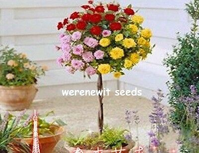 20 X Polyantha 3 Coloured Rose Tree Seeds.free Post, Aussie Seller