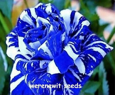 20 X Blue Dragon Rose Seeds Rare Striped Rose Aussie Seller