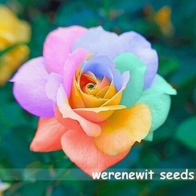 RARE-BRIGHT-RAINBOW-ROSE-SEEDS x 15-LIMITED-STOCK-AUSSIE SELLER