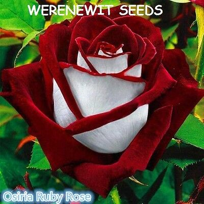Ruby Red/white Osiria Rose Seeds X 20 + Aussie Seller