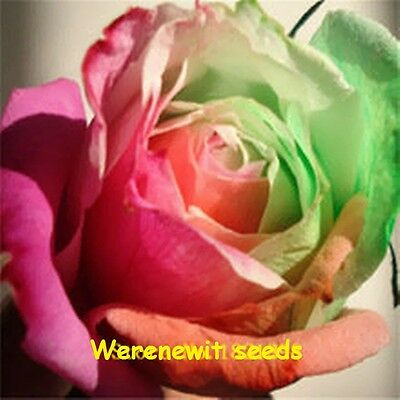 20 x PASTEL COLOURED RAINBOW ROSE SEEDS,FREE POST,AUSSIE SELLER