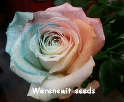 20 X Light Coloured Trinidad Rainbow Rose Seeds,free Post,aussie Seller