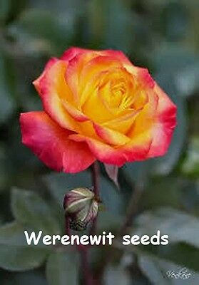 20 x NEW COLOURFUL YELLOW-PINK HYBRID TEA ROSE,FREE POST,FRESH SEED STOCK