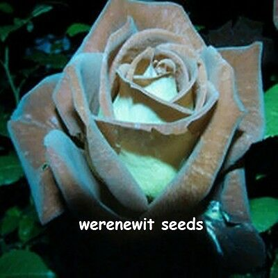 RARE CHOCOLATE MINT ROSE SEEDS x20 AUSSIE SELLER
