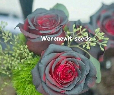 RARE BLACK BEAUTY RED BLOOD ROSE SEEDS x20 FREE POST,AUSSIE SELLER