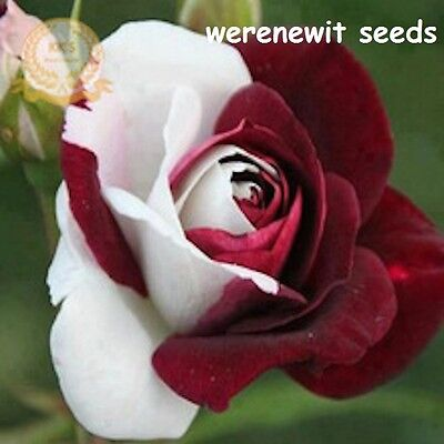 RARE HEIRLOOM 1/2 WHITE/DARK RED KK105 x20 SEEDS LIMITED STOCK AUSSIE SELLER