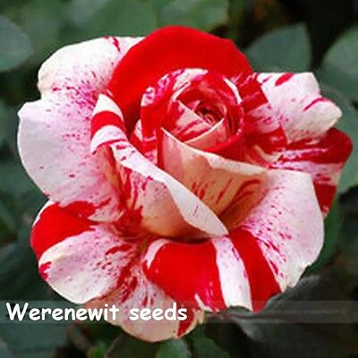 RED-WHITE DRAGON ROSE SEEDS x20 FREE POST,FREE GIFT,FRESH STOCK,AUSSIE SELLER